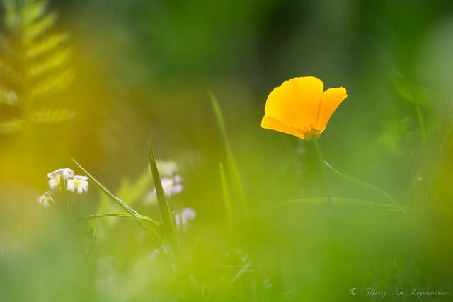 Fleurs printanières, Nikon D7100, Sigma APO Macro 150mm F2.8 EX DG OS HSM
