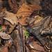 Spot Me_MG_3332 copy by Kurt (OrionHerpAdventure.com)