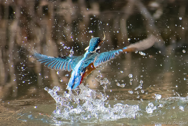 20190202-kingfisher-DSC_0871