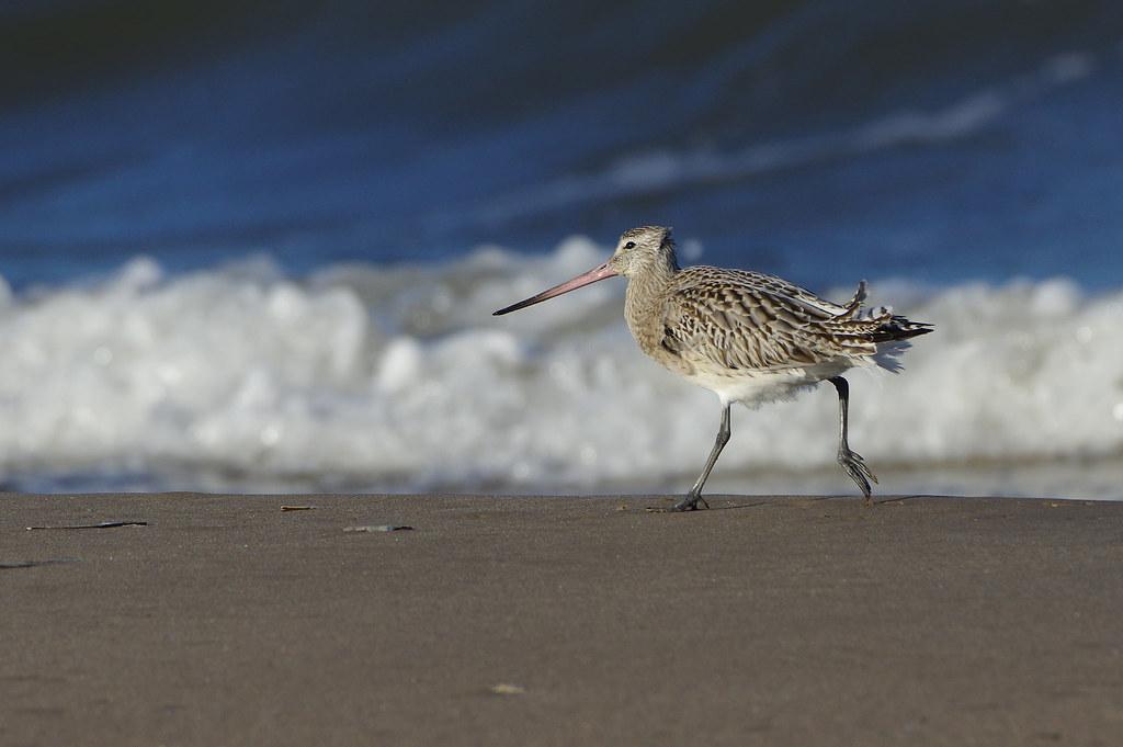 K32P0333c Bar-tailed Godwit, Titchwell Beach, November 2018