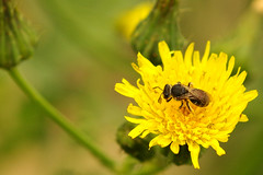 Native bee on nonnative dandelion
