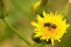 Native bee on nonnative dandelion