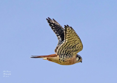 American Kestrel (Falcon)