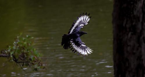 a strange crow in flight (1/2) : a phoenix in the sky