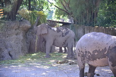 More Borneo Pygmy Elephants feeding