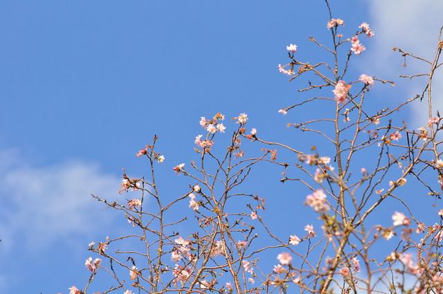 DSC_0491 十月桜