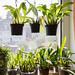 Coelogyne und andere Orchideen