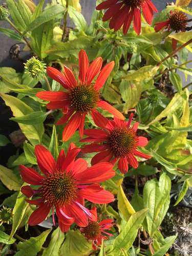 ECHINACEA 'Flamenco Orange'