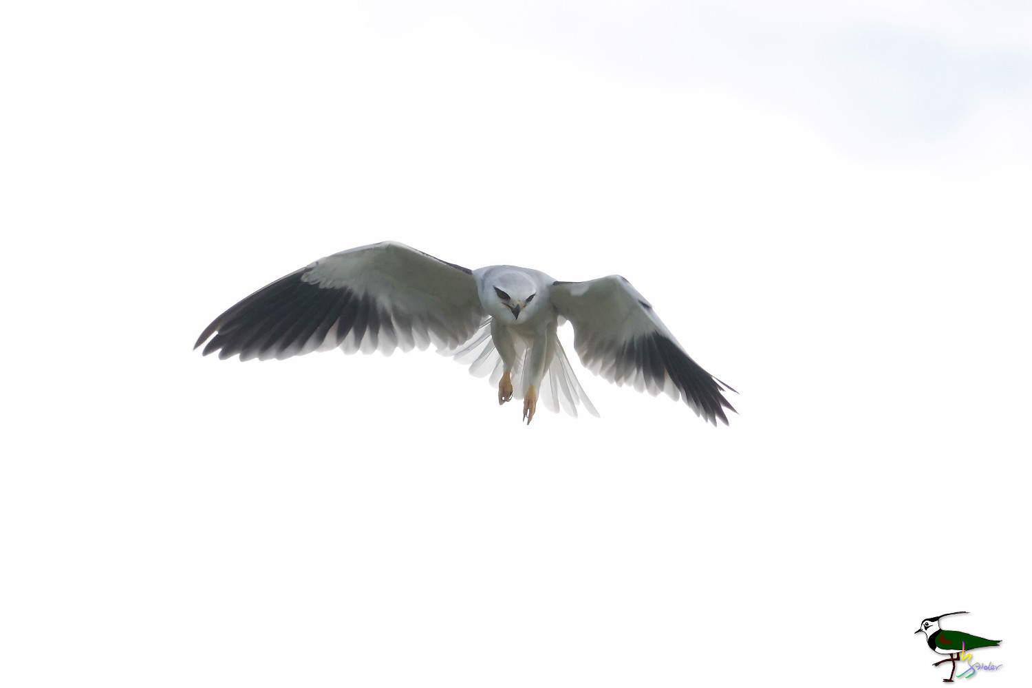 Blqck-winged_Kite_Sony_05200