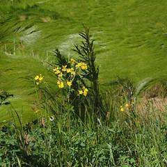 Des petites fleurs au bord de l'estuaire de la Gironde. - Photo of Blaignan