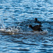 Coot Fight!
