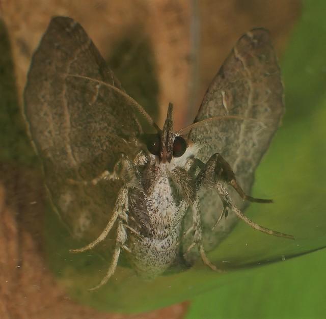 Mantis leg Funnel wings moth Bematha extensa Pangraptinae Erebidae Airlie Beach rainforest P1460483