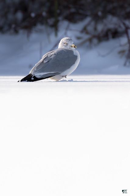 ''Immaculé!'' Goéland à bec cerclé-Ring-billed gull