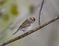 Chipping Sparrow(Spizella passerina)