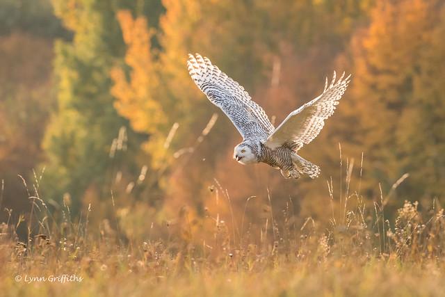 Snowy Owl - Autumn, Nikon D850, AF-S VR Nikkor 300mm f/2.8G IF-ED II