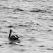 Pelicano en el Mar