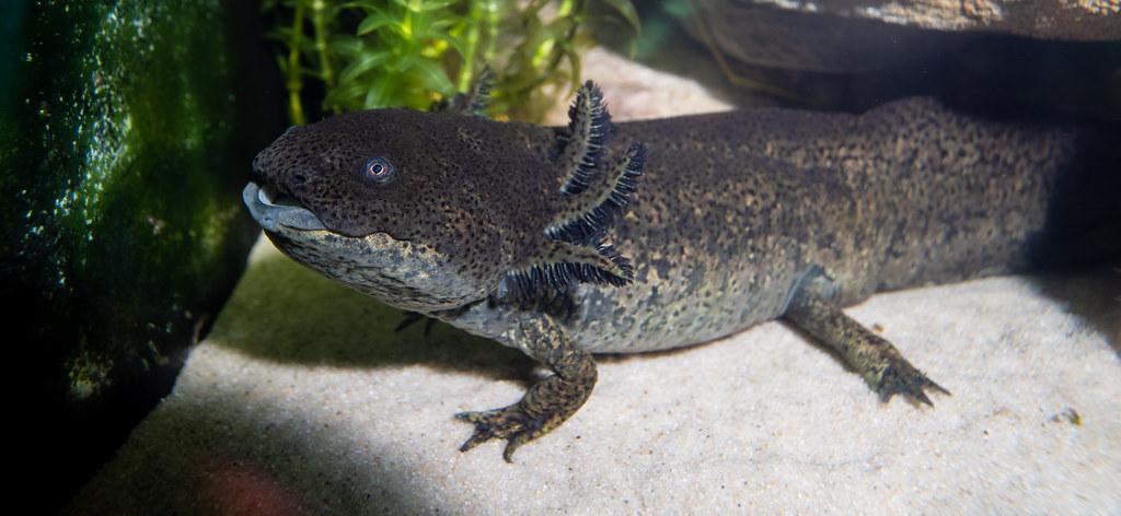 Axolotl_3