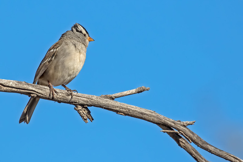 White-crowned-Sparrow-10-7D2-112518