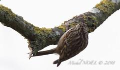 Grimpereau des jardins - Certhia brachydactyla - Short-toed Treecreeper : Michel NOËL © 2019-8675.jpg