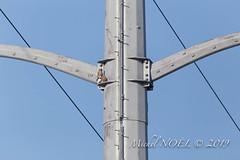 Faucon crécerelle Falco - tinnunculus - Common Kestrel : Michel NOËL © 2019-8786.jpg