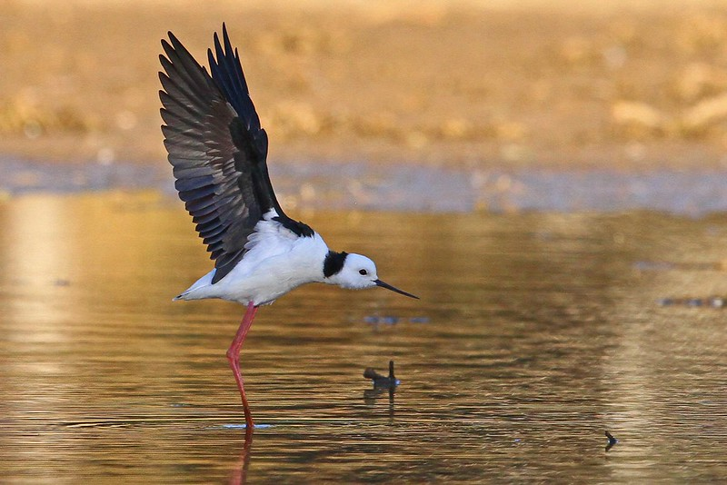Black-winged Stilt N Bartlett 2