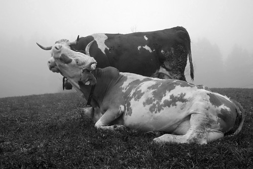 KISSING COWS IN THE FOG