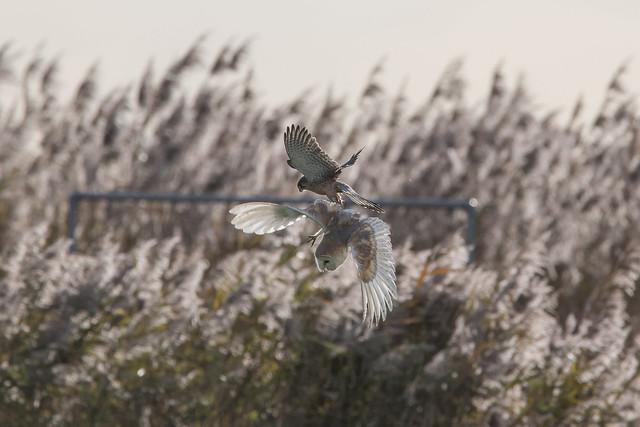 Kestrel/Barn Owl altercation (5 of 6)