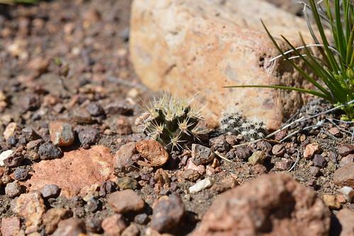 DSC_0311 Pterocactus australis プテロカクタス オウストラリス