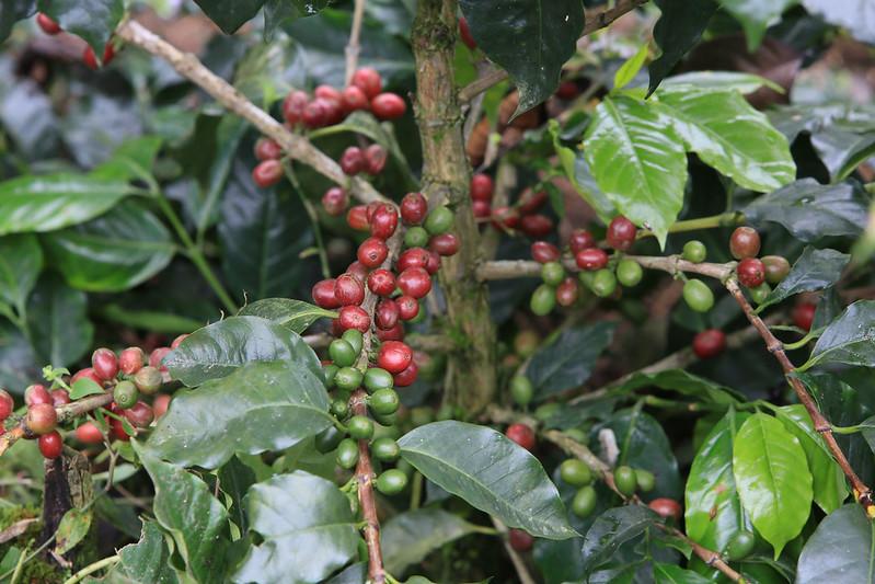 Cây cà phê Sarchimor Parainema ở  honduras (2)
