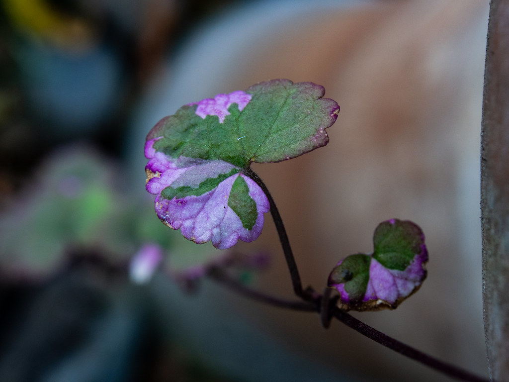 Magenta hues on a vine leaf