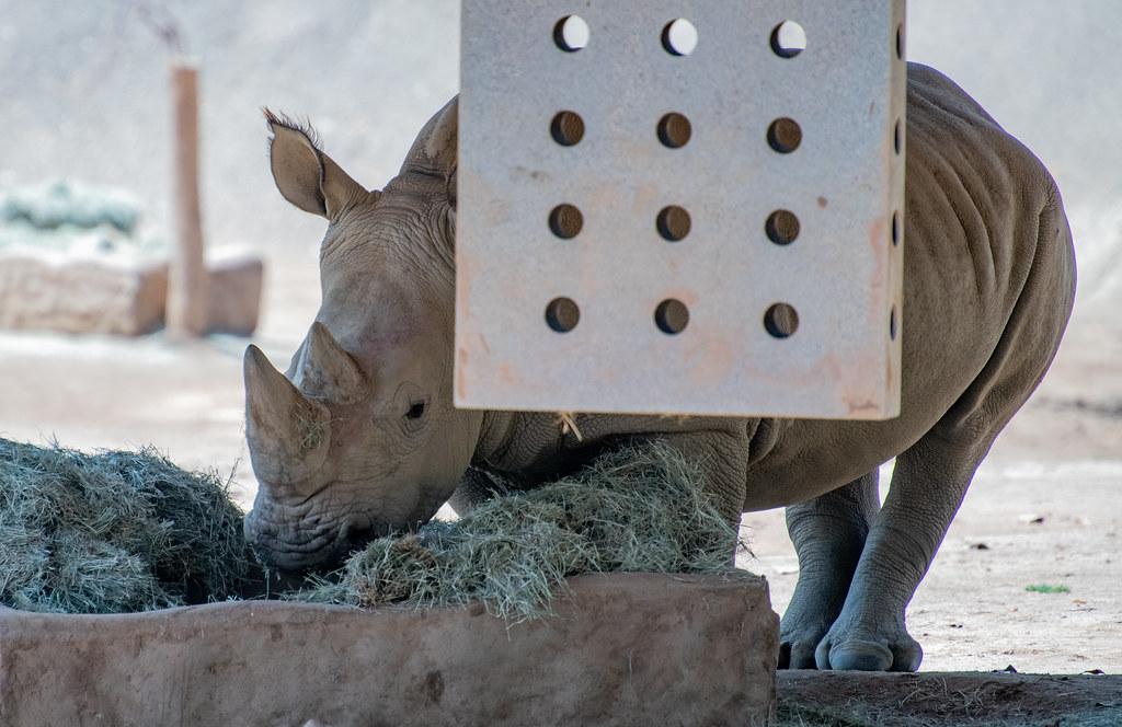 _Rhino_1