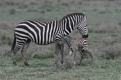 A zebra mother licking her newborn baby