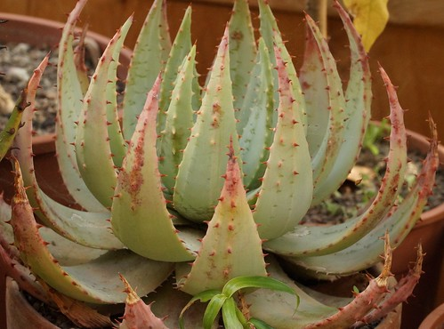 Aloe peglerae 44966515455_4af4035ffb