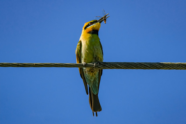 Rainbow bee eater with some lunch