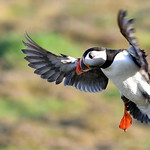 Landing gear down and locked - Puffin - Skomer Island - Wales