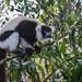 DSC03666 Black and White Ruffed Lemur, Varecia variegata. by jwsteffelaar