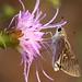 Eufala Skipper on Carphephorus bellidifolius, Carolina Sandhills NWR by Will Stuart