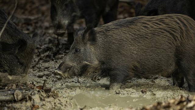 Boar in a wallow