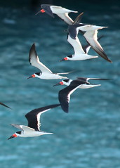 Black Skimmers, Key West, FL_5977(1)