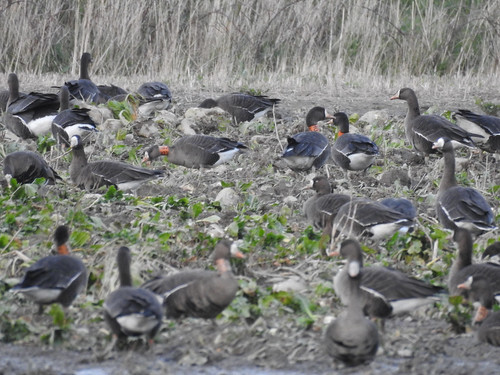 Greenland White-fronted Goose (Anser albifrons)