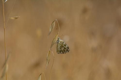 Bath white - Pontia daplidice - Resedawitje