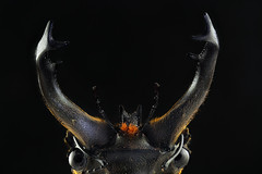 Stag beetle (horns)