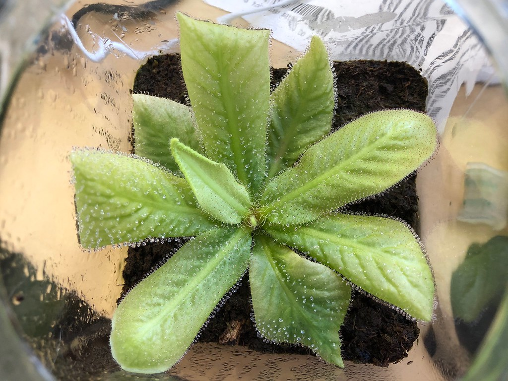 Drosera schizandra in coffee jar terrarium
