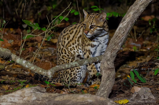 Ocelot #Explored