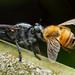 沒看過食蟲虻獵殺大型蜜蜂,令我感到非常震驚
