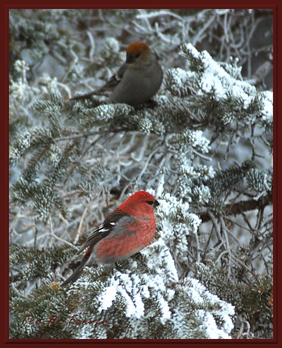 2018-12.birds.pine.grosbeak.female.male