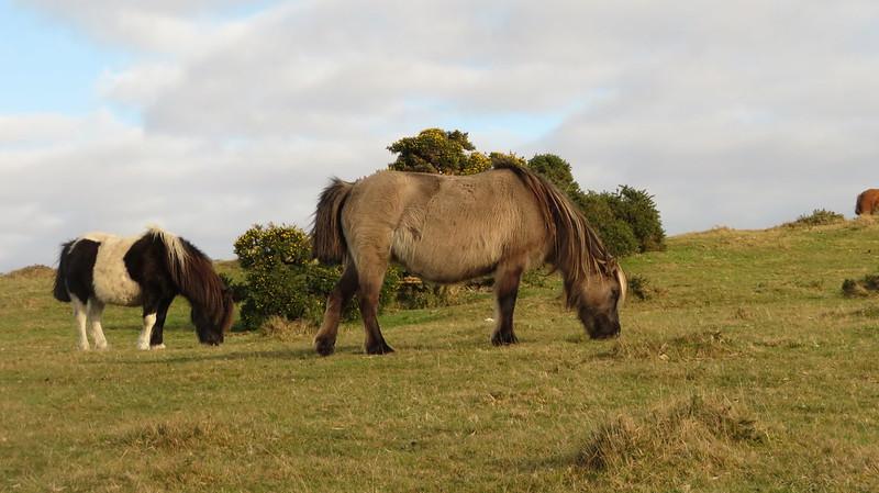 Ponies on Barn Hill