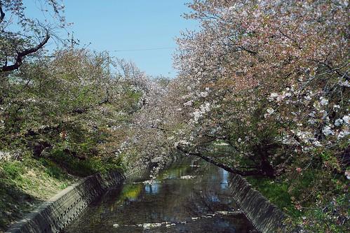 櫻花掉光光的五条川