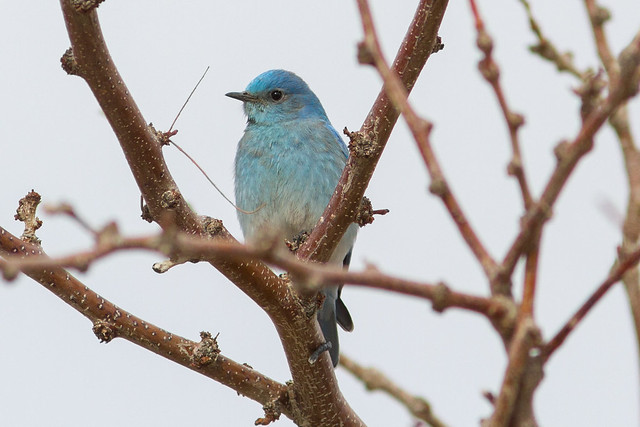 Mountain Bluebird, Canon EOS 7D, Canon EF 300mm f/4L IS