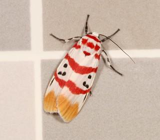 Lichen Moth (Cyana sp., Lithosiini, Arctiinae, Erebidae), male